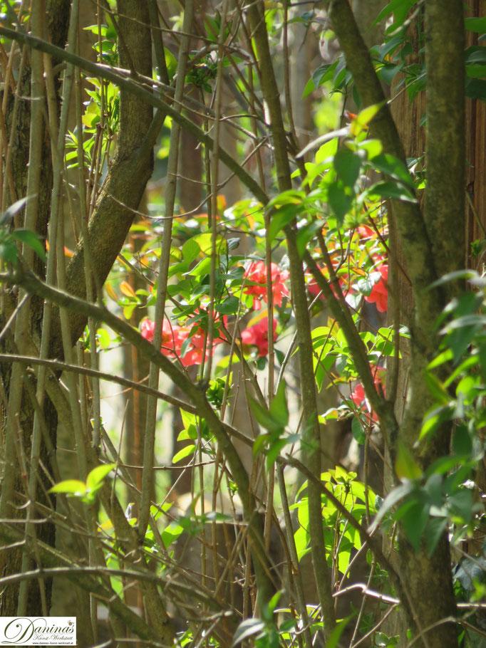 Quitte - Zierstrauch im Garten
