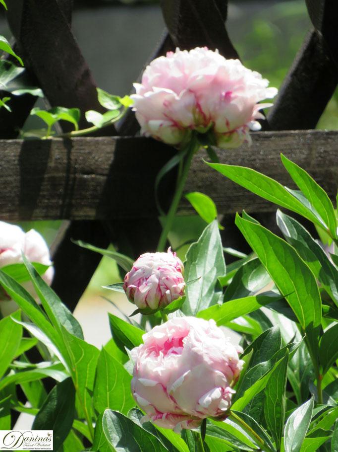 Rosa blühender Pfingstrosen Strauch am Holzlattenzaun