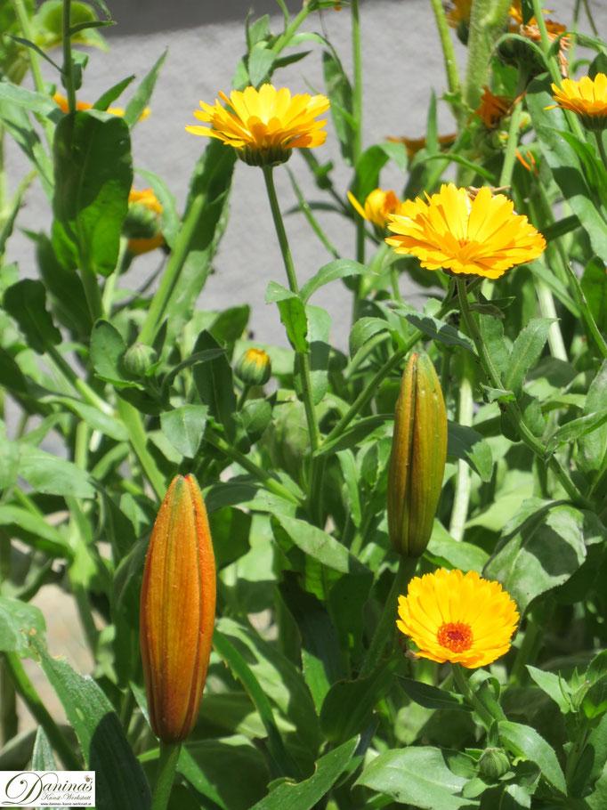 Orangefärbige Ringelblumen und Lilien im Gartenbeet