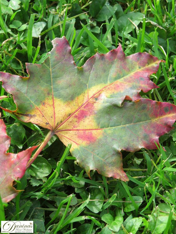Herbstlich bunt gefärbtes Ahornblatt
