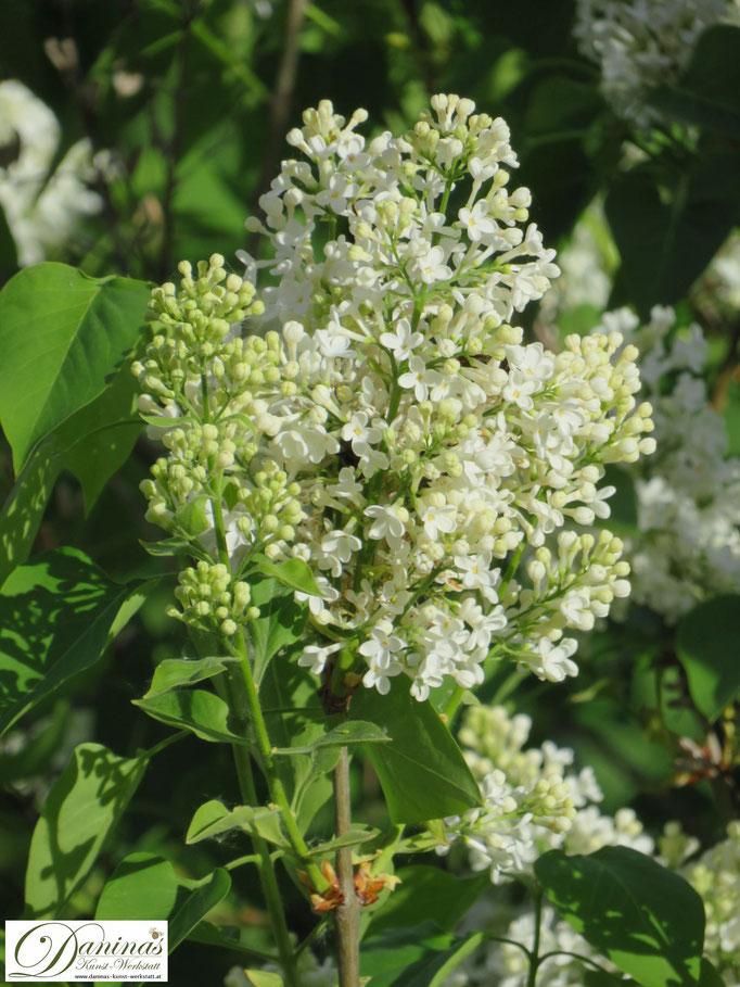 Weiß blühender Fliederstrauch im Frühjahr