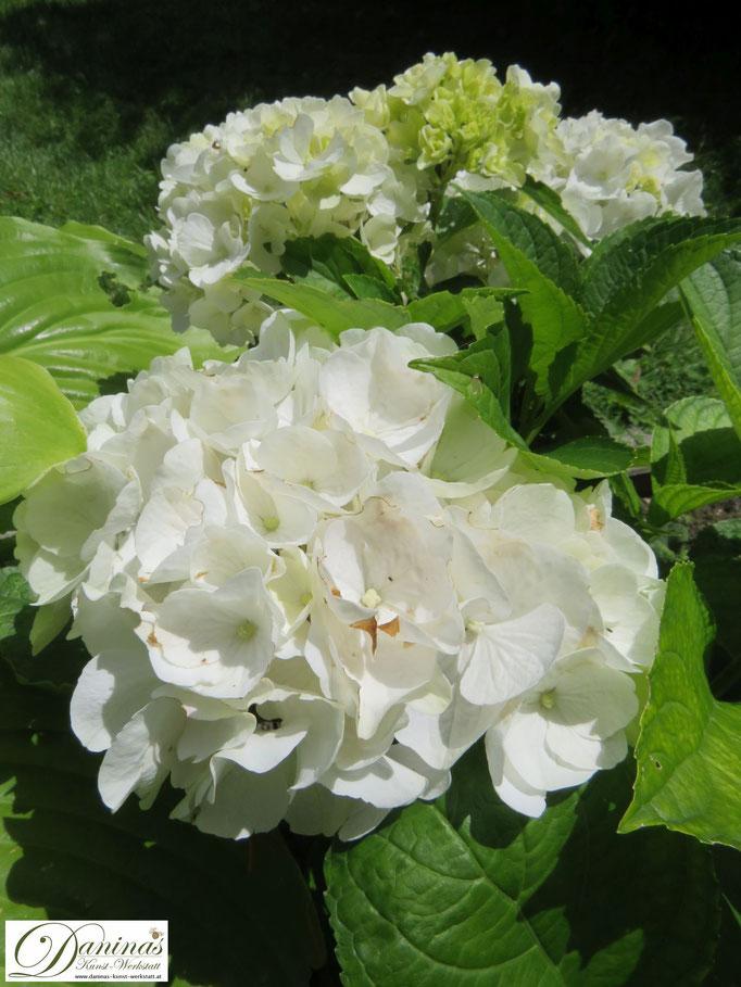 Weiße Bauernhortensien: robuste Dauerblüher für schattige Beete