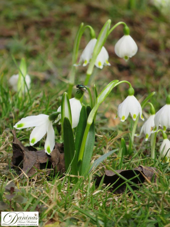 Weiß blühende Frühlingsknotenblume im Wintergarten werden gerne von Bienen und Insekten besucht.