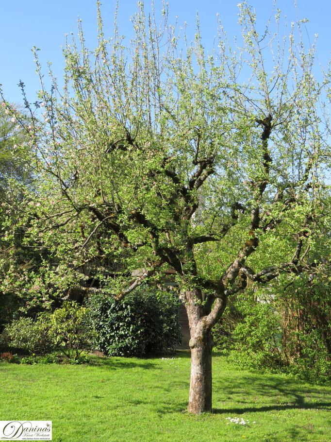 Apfelbaum - erste grüne Triebe im Frühling