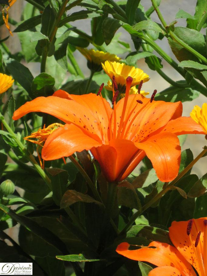 Orangefärbige Lilie im Cottage Garten