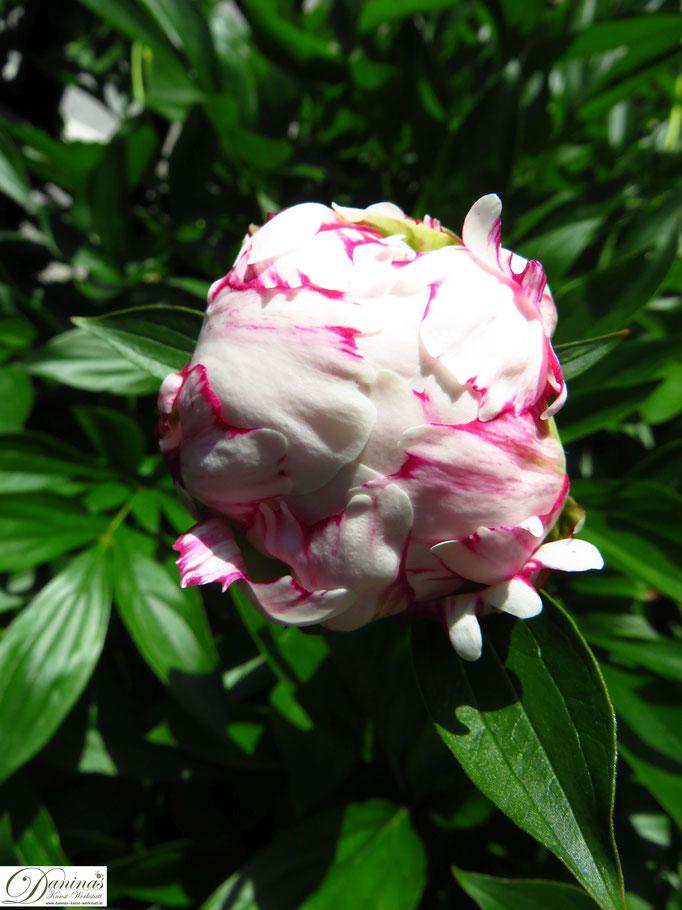 Rosa Pfingstrosen Blüte mit roten Rändern