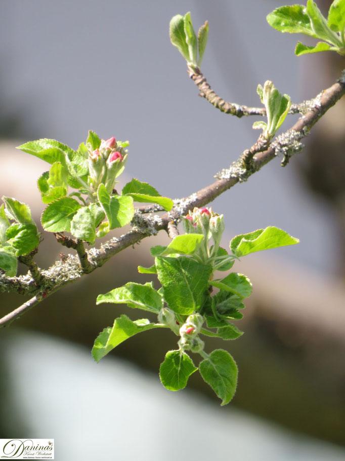 Apfelbaum Knospen im Frühling