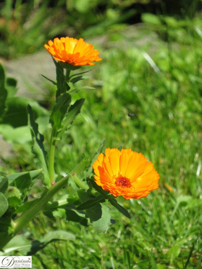 Ringelblumen im Cottage Garten