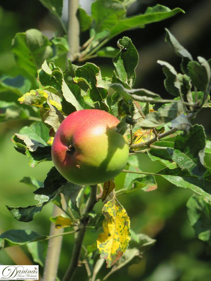 Mein Apfelbaum - reifer Jonathan Apfel im Herbst