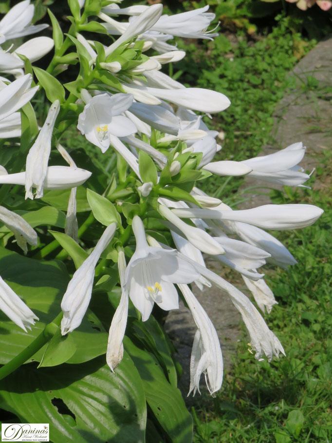 Sommer im weißen Garten: Die prachtvolle, üppig blühende Lilien-Funkie