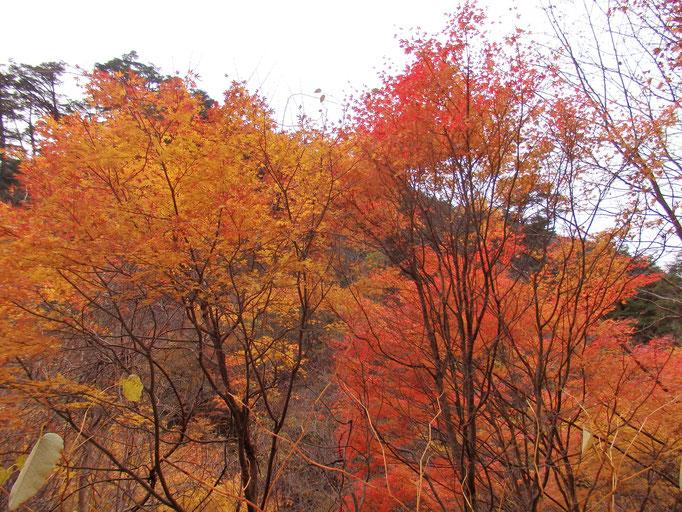 石鎚スカイラインの紅葉