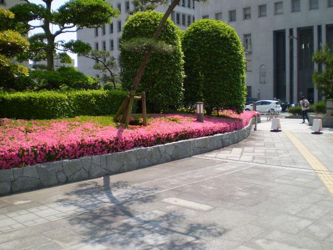 松山市役所のサツキ