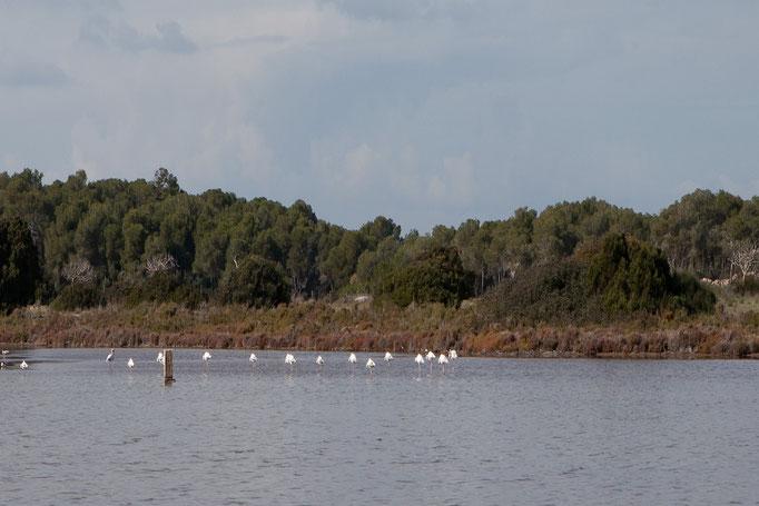 Flamingos an den Salinen