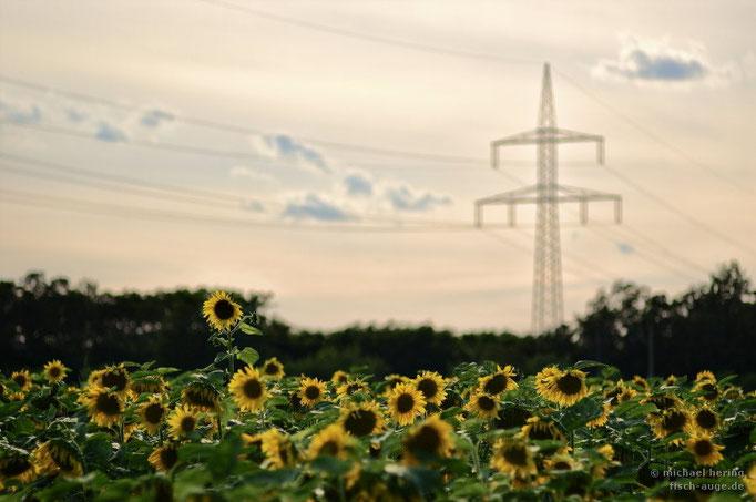 Sonnenblumen unter Strom