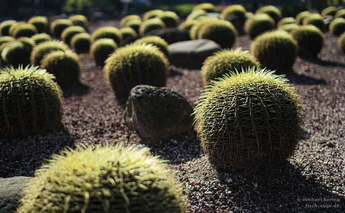 Echinocactus / Mexico City
