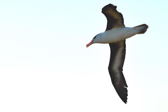 Lilo Tadday Helgoland Schwarzbrauen Albatros