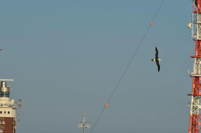 Lilo Tadday Helgoland Schwarzbrauen Albatros Flug Studie