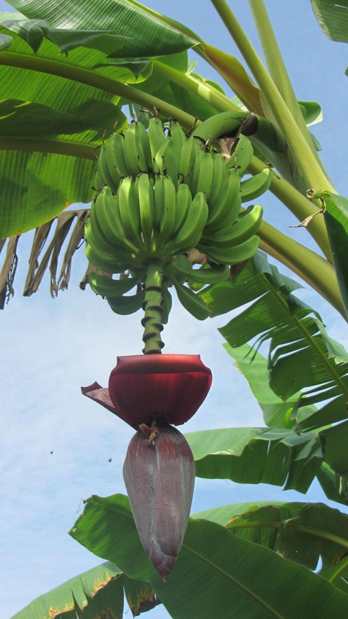 Bananes Panama