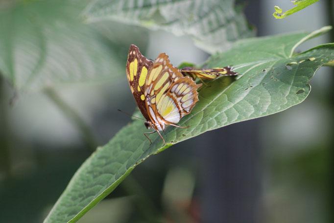 Papillons au Panama