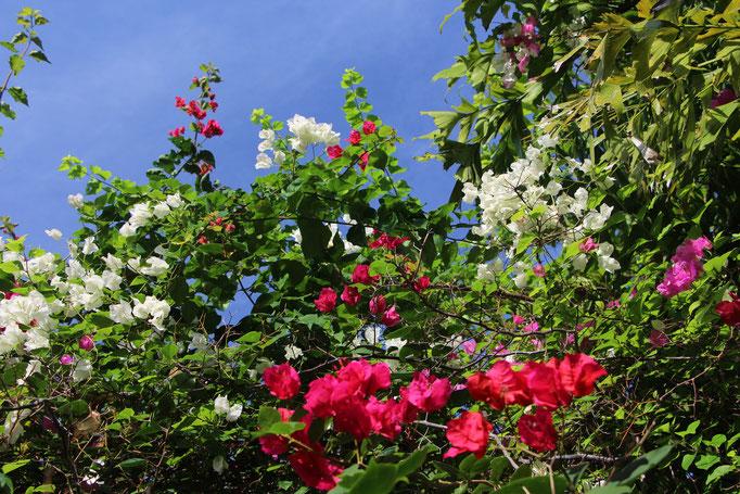 Fleurs du Panama
