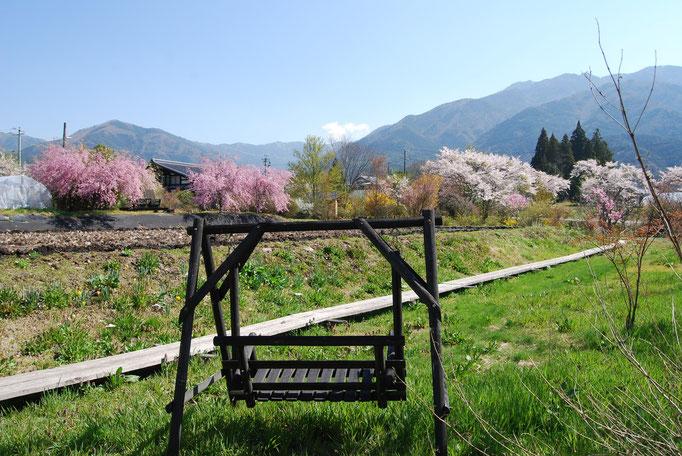 春 敷地内の桜たち 4月中旬~(例年)