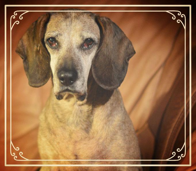 unsere 14 Jahre alte BGS Hündin Freia sie ist nicht ganz 15 Jagre alt geworden sie war eine ganz Liebe ,vertrug sich mit jedem.