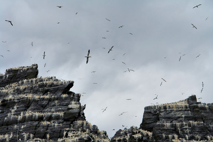 Little Skellig. Sie gehört Tausenden von Seevögeln.