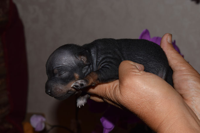 female 1, black tan white, for sale