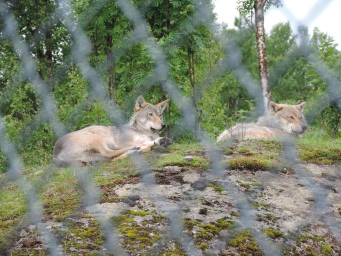 Die Wölfe haben wir nur von weitem gesehen