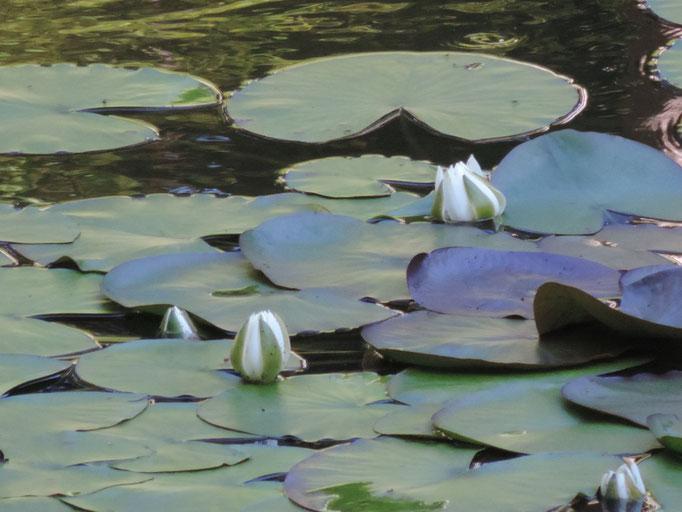Schöne Seerosen wachsen jetzt hier