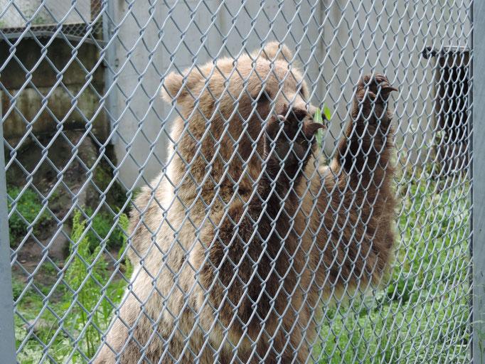 ...waren mir dann doch die Krallen zu groß! Außerdem war das hier auch noch ein junger Bär!
