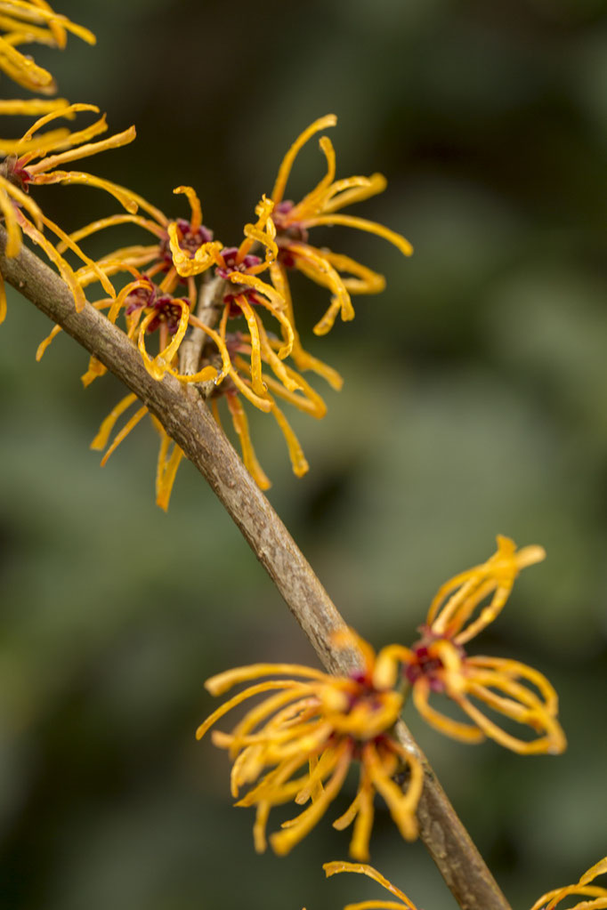 Hamamelis x intermedia 'Ajan'©sibyllepietrek-photographin