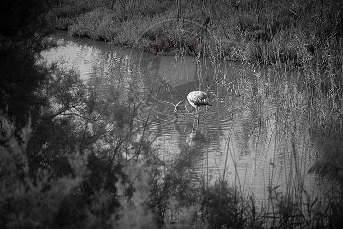 Flamenco común - Desembocadura del río Guadalhorce - Málaga