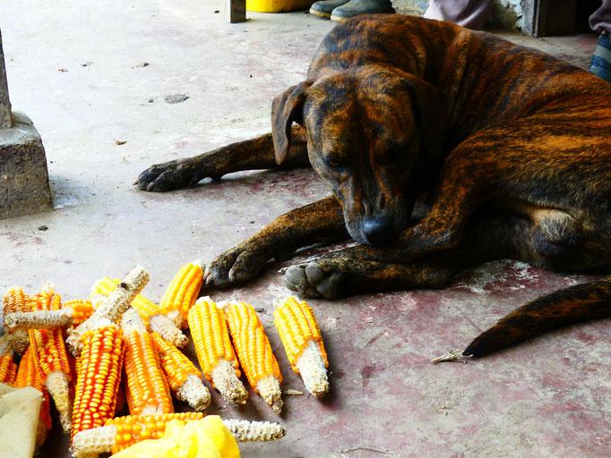 Maïs et Tigre, le chien de la Finca