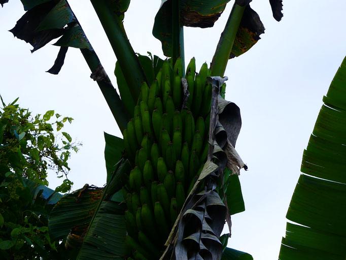 Bananiers
