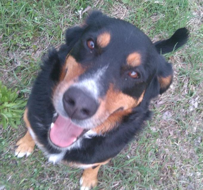 Südtirol  -  Schweizer Sennenhund findet neues Zuhause