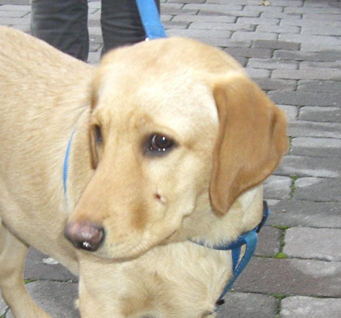 Alto Adige  -  Meticcio Labrador Retriever trova nuova casa