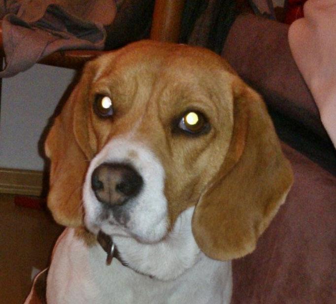 Südtirol  -  Beagle findet neues Zuhause
