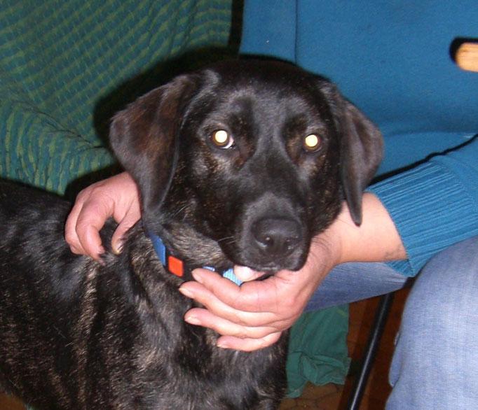 Südtirol  -  Labrador-Mischlings-Mädchen findet neues Zuhause