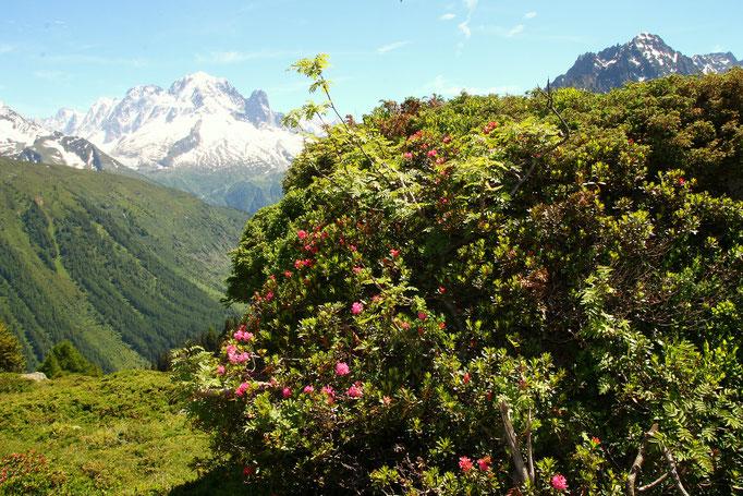 Les rhododendrons commencent à fleurir ! Avec au fond l'Aiguille Verte.