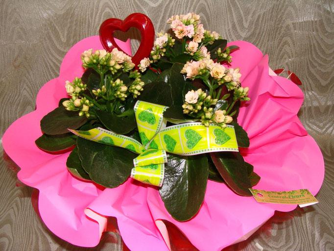 Kalankoé à fleurs double en collerette