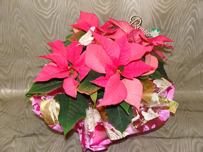 Poinsettia rose en collerette