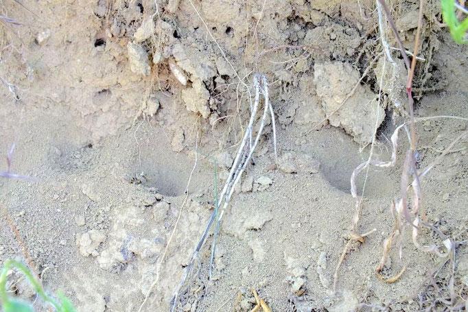 Die Larve des Ameisenlöwen fängt ihre Beute in selbst gegrabenen Sandtrichtern