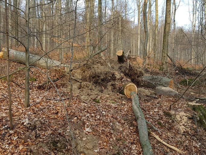Exempel von bei Fällung entwurzeltem Baum