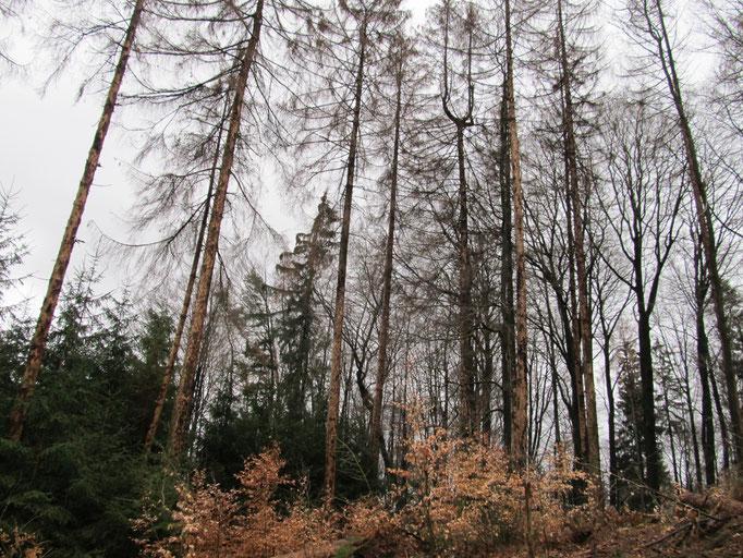 Vom Borkenkäfer befallene Bäume