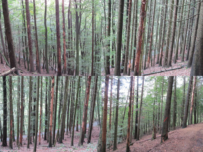 Exempel Nadelholzplantage