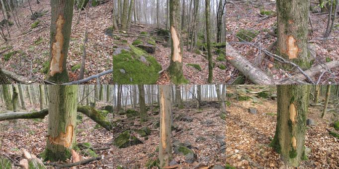 Exempel Baumverletzungen Esche