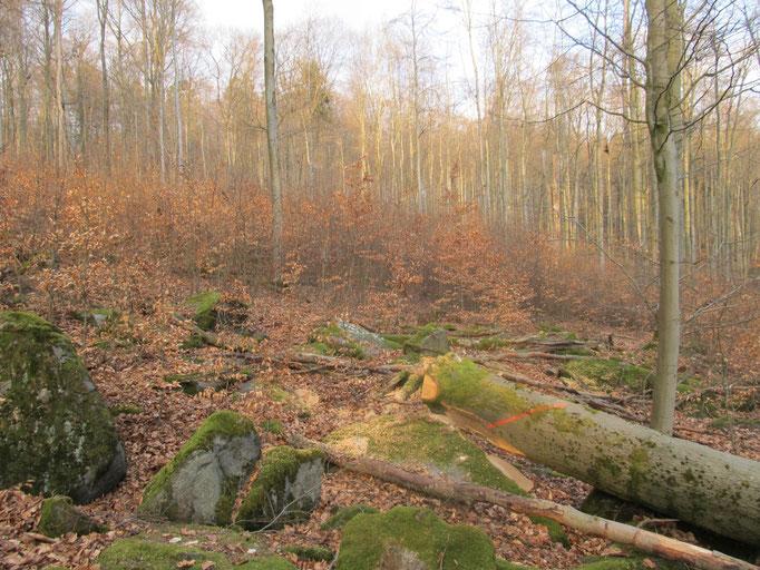 Waldverjüngung: vielerorts nicht einmal Stangenholz