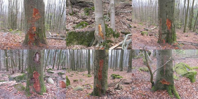 Exempel Baumverletzungen Laubbäume