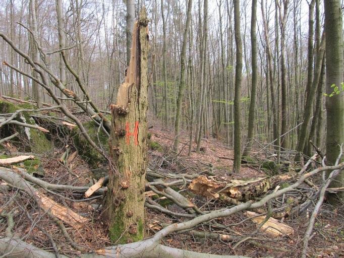 Exempel Baumzerstörung Habitatbaum